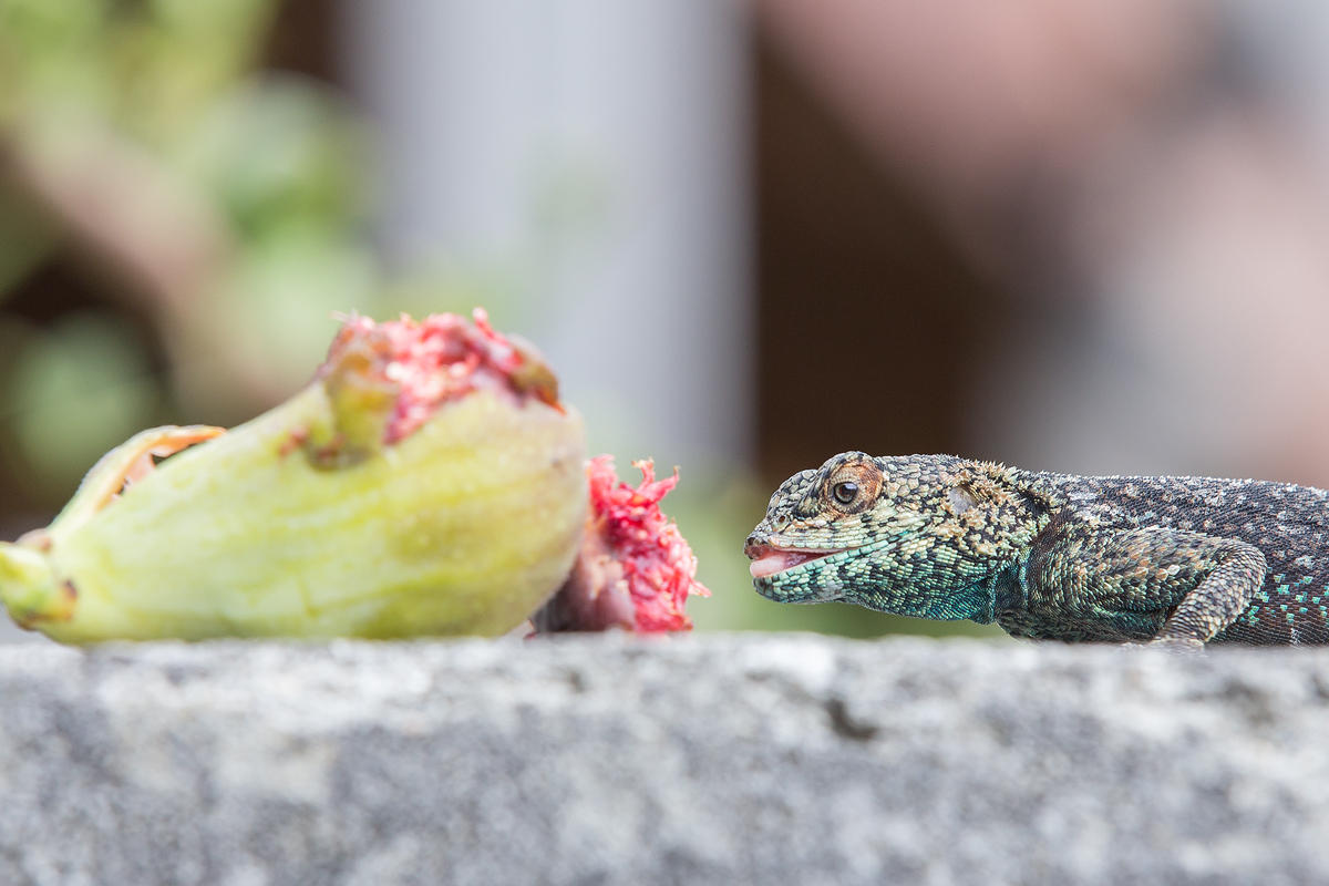 South-African-Agama-eating-fig-Carole-B-Eves